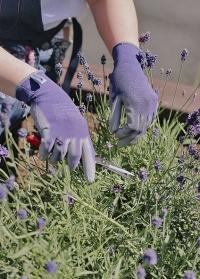 Перчатки тонкие для цветов и работы в саду Violet Colors AJS-Blackfox фото