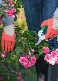 Перчатки латексные для работы с розами Rosiers AJS-Blackfox